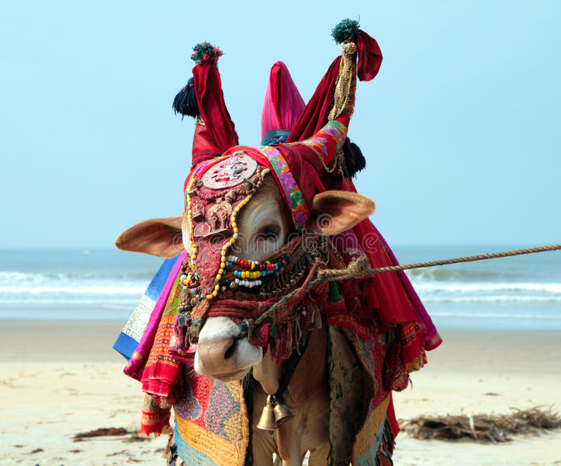 Sakral ko för indier på stranden arkivfoton