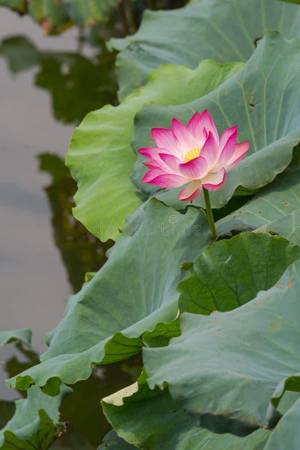 sakral lotusblomma arkivbild