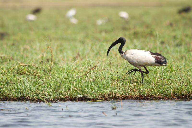 sakrala afrikanska ibis royaltyfria bilder