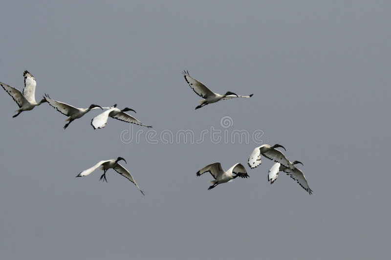 sakrala ibis arkivfoton