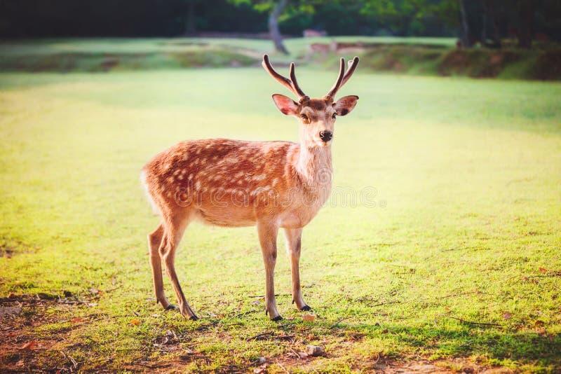 Sakrala sikahjortar på Nara parkerar i morgonen fotografering för bildbyråer