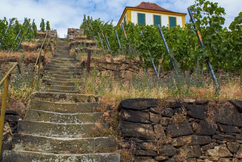 Saksische wijngaard in de vallei van Elbe stock afbeeldingen