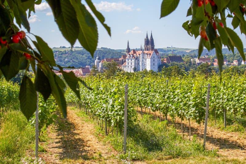 Saksische wijngaard die Albrechtsburg Meissen overzien royalty-vrije stock fotografie