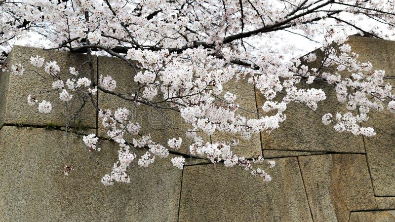 Sakura à Kyoto, Japon images stock