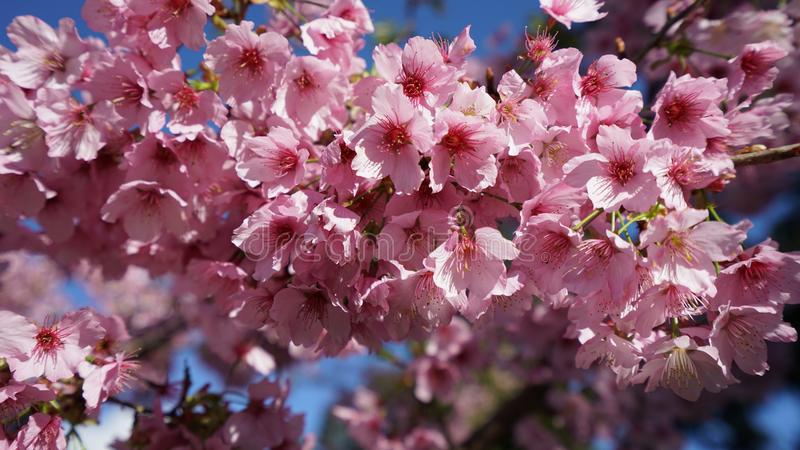 Sakura à Taïwan images stock