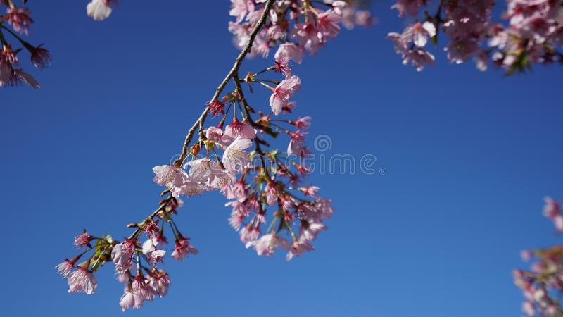Sakura à Taïwan photographie stock libre de droits
