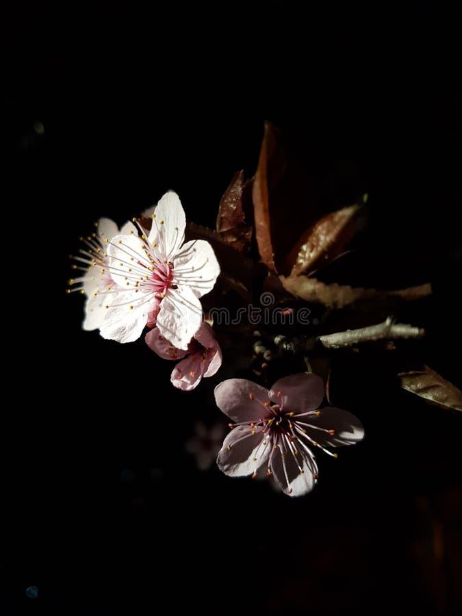 Sakura 🕠royalty-vrije stock afbeelding