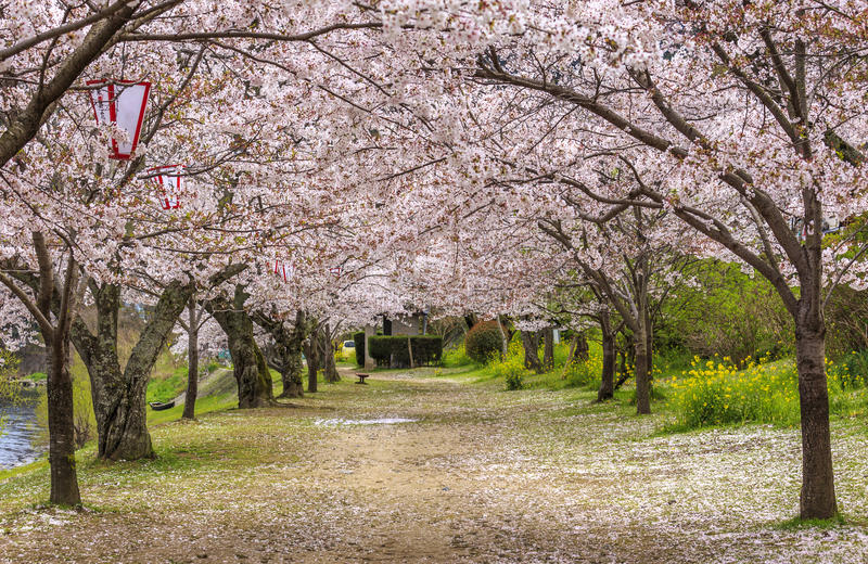 Sakura ścieżka 3 zdjęcia royalty free