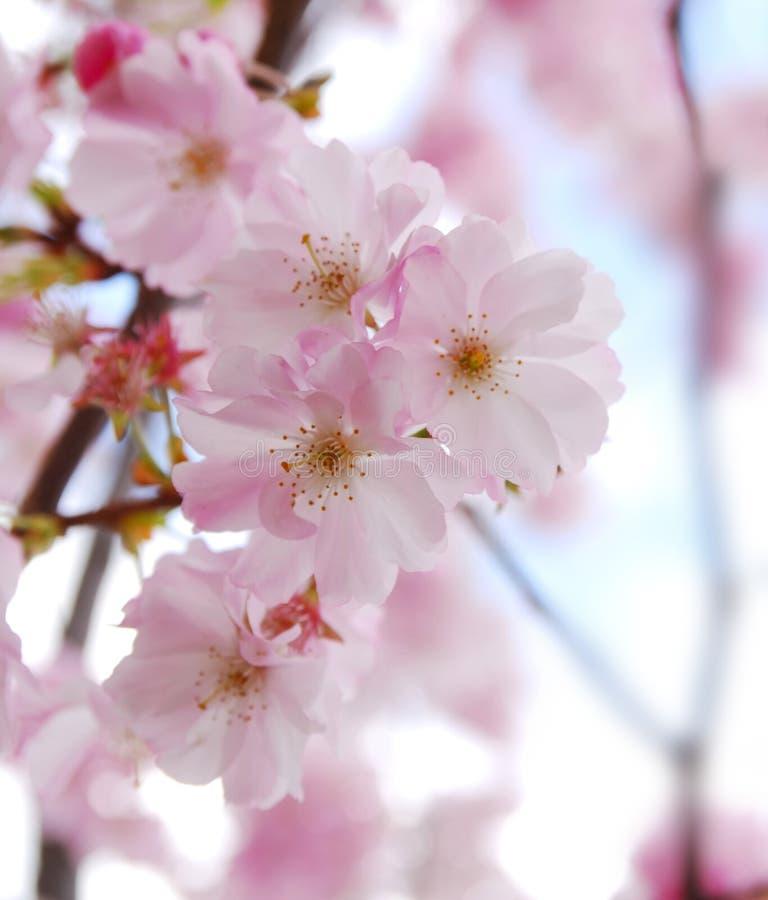 sakura κερασιών ανθών στοκ φωτογραφία με δικαίωμα ελεύθερης χρήσης
