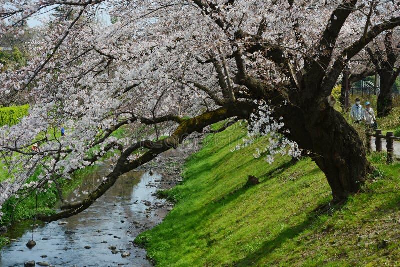 sakura κοντά στο Τόκιο στοκ εικόνες με δικαίωμα ελεύθερης χρήσης