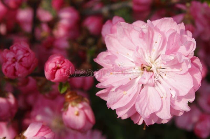 sakura στοκ εικόνα