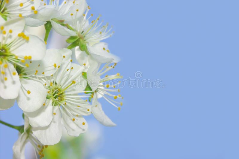 Download Sakura stock photo. Image of march, copy, blue, life - 11311296