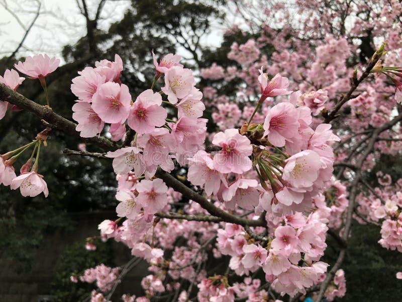 Sakura zdjęcia stock