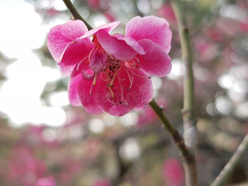 Sakura royalty-vrije stock afbeeldingen