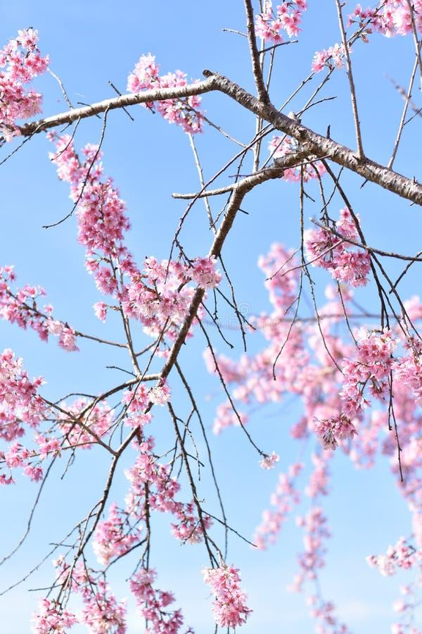 Sakura στοκ εικόνες