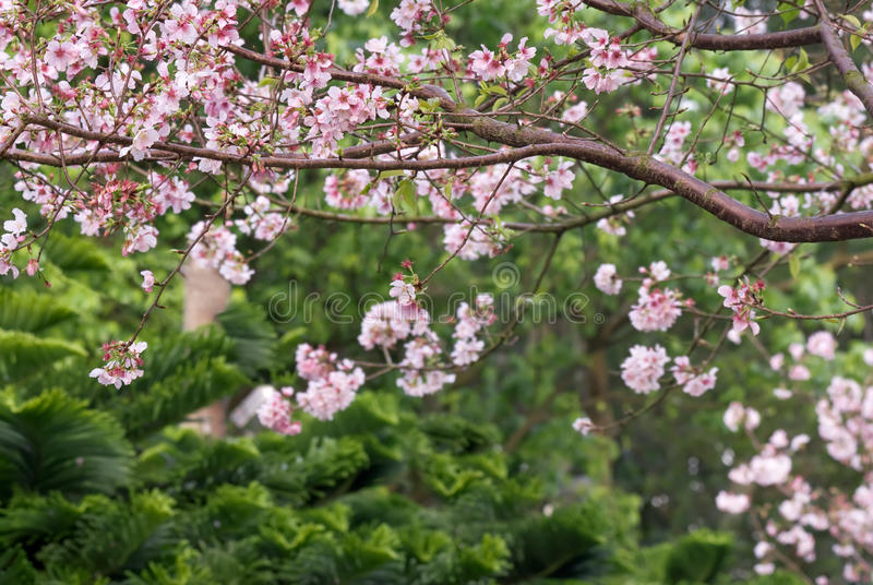 Sakura. Flowers of pink against green tree background royalty free stock photography