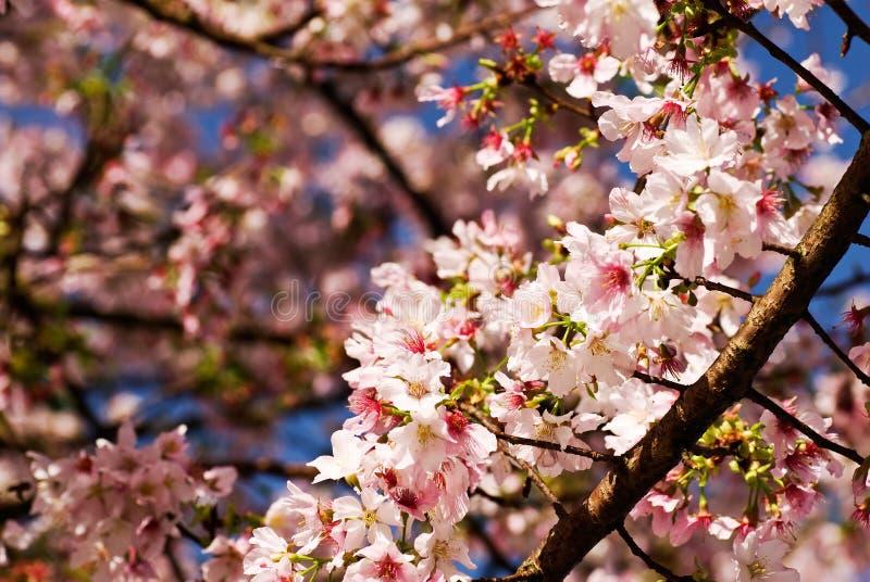 Sakura. Pink flowers of sakura tree in spring stock photography