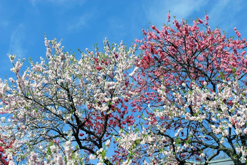 Download Sakura stock image. Image of growth, sakura, branch, easter - 18349819