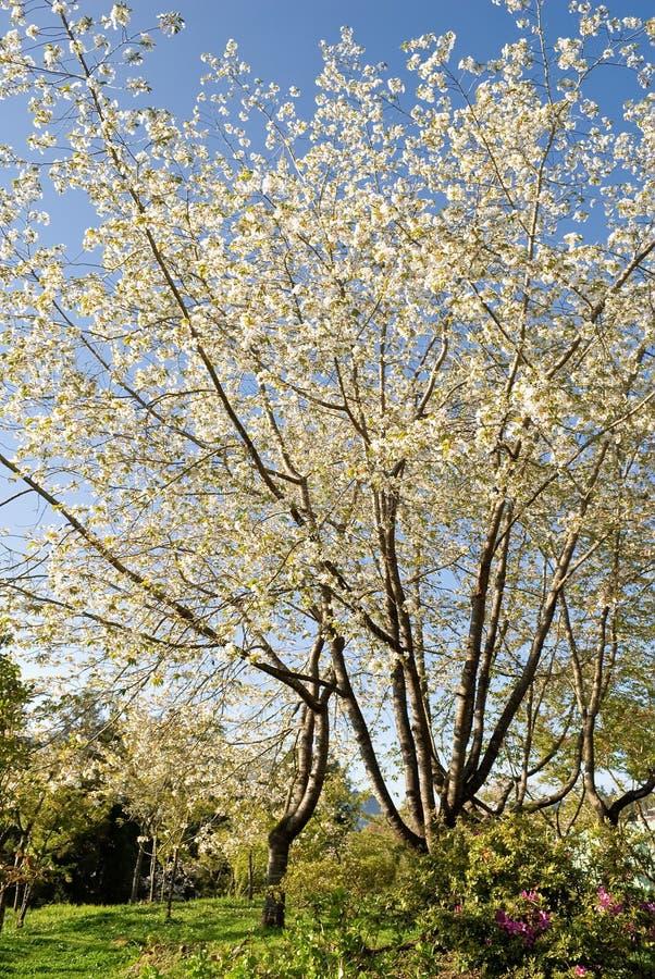 Download Sakura stock photo. Image of beautiful, colorful, nature - 19140060