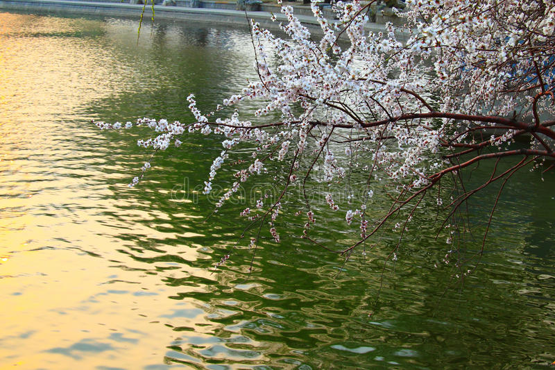 Sakura fotos de archivo