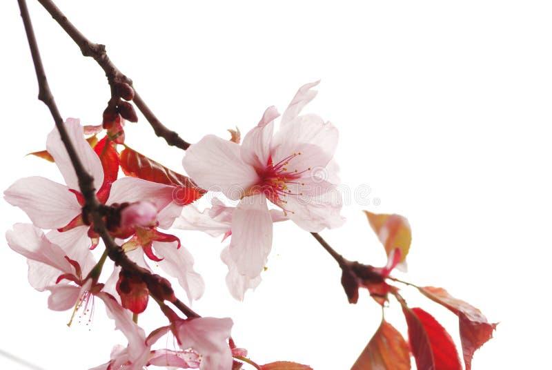 Sakura stockfotografie