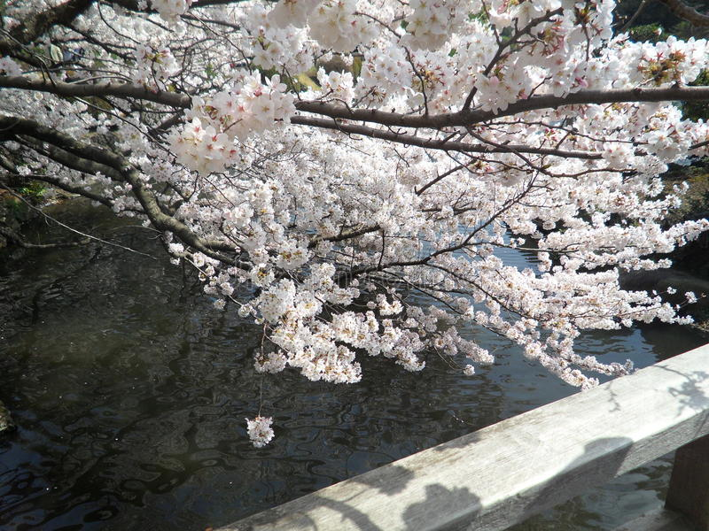 Sakura images stock