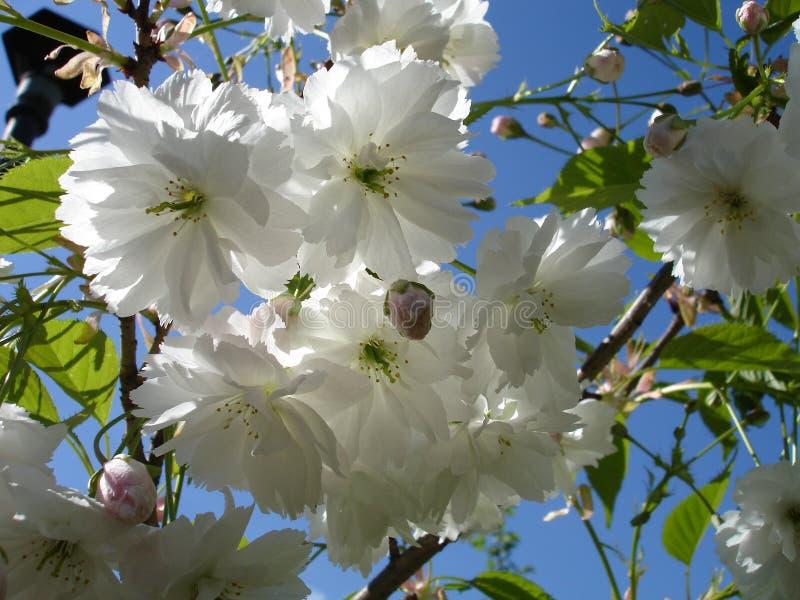 sakura στοκ εικόνες με δικαίωμα ελεύθερης χρήσης