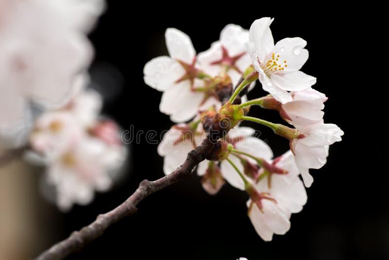 Sakura royalty-vrije stock fotografie