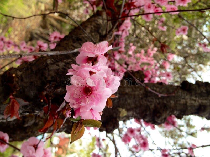 Sakura fotografia stock libera da diritti