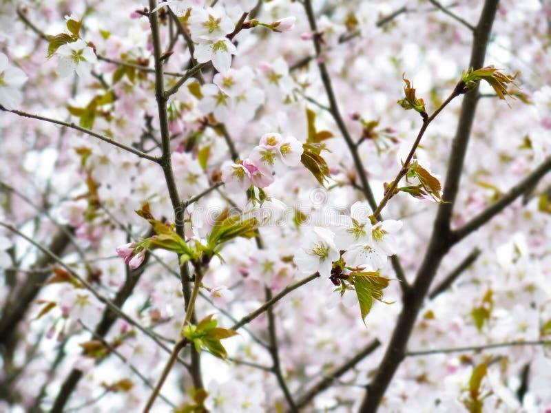 Sakura fotos de stock royalty free