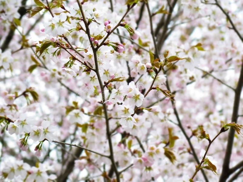 Sakura image libre de droits