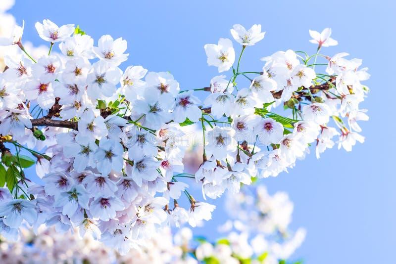 Sakura foto de stock royalty free
