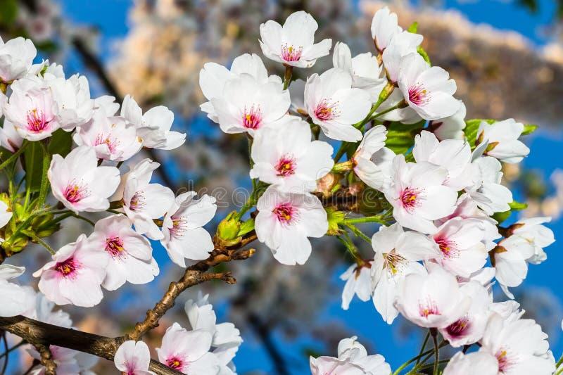 Sakura stock afbeeldingen