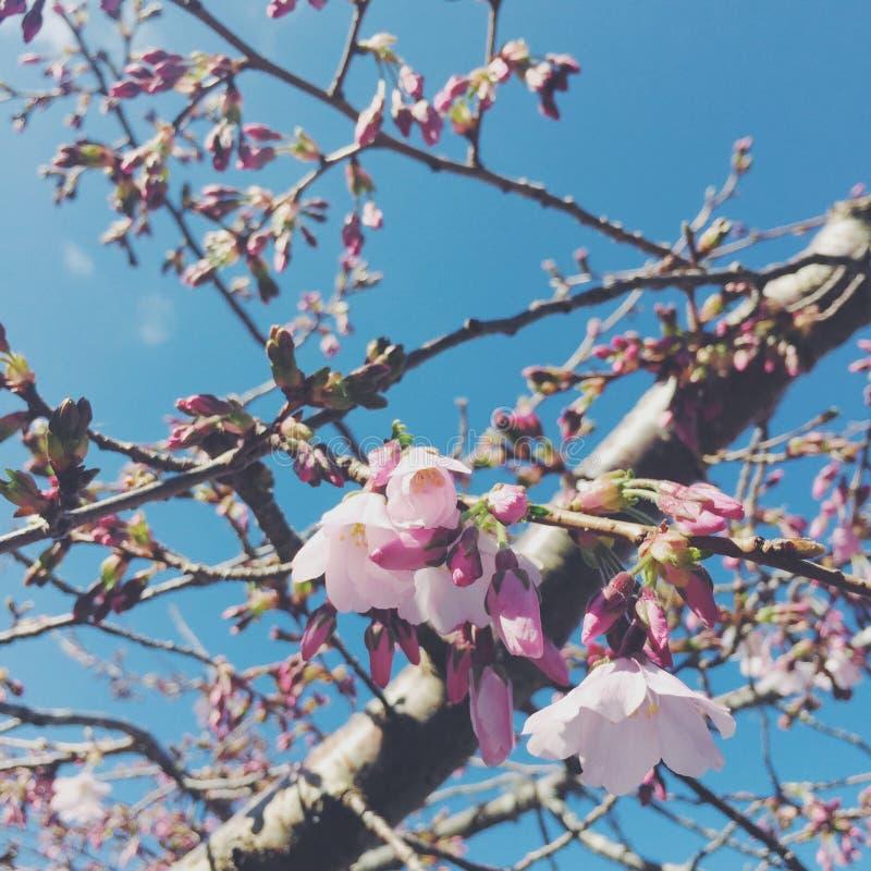 Sakura foto de stock