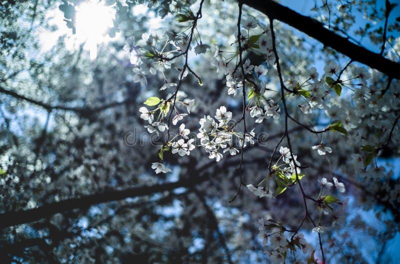 Sakura ad aprile a Qingdao, Cina fotografie stock libere da diritti