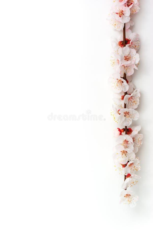 Sakura aislado fotos de archivo libres de regalías