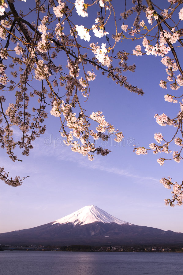Sakura & MT Fuji stock afbeelding