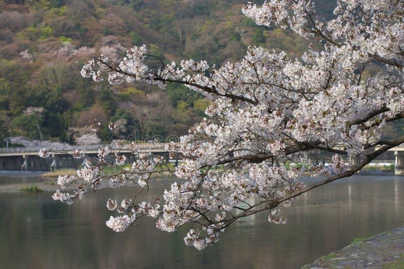 Sakura in arashiyama royalty-vrije stock foto