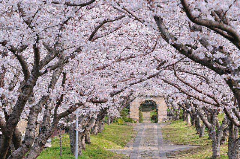 Sakura arch royalty free stock image