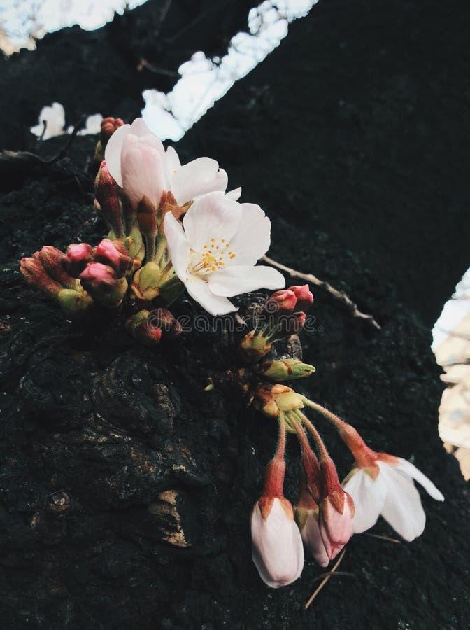 Sakura au Japon photos stock