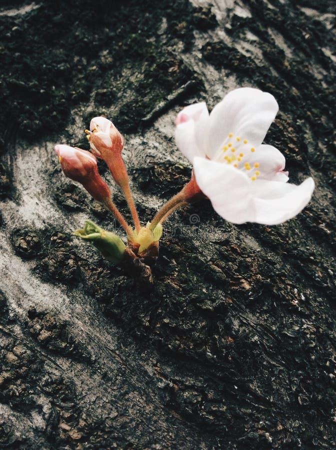 Sakura au Japon photographie stock libre de droits