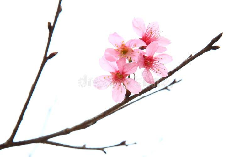 Sakura au Vietnam photos libres de droits