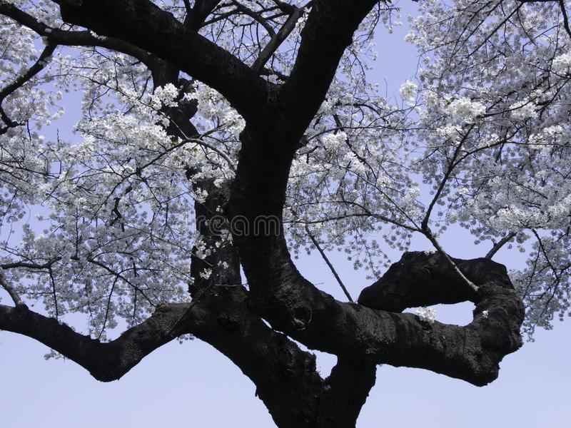 Sakura avec la branche de bordage image libre de droits