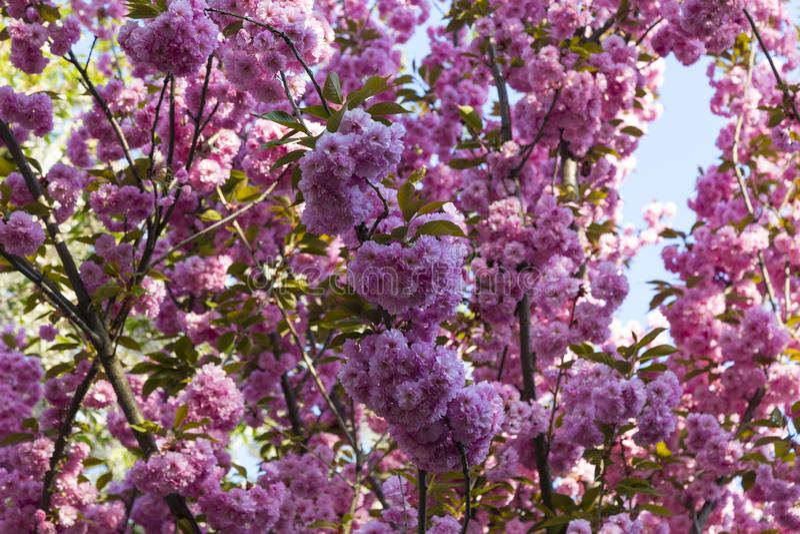 Sakura blüht mit doppelrosa Blumen lizenzfreies stockfoto