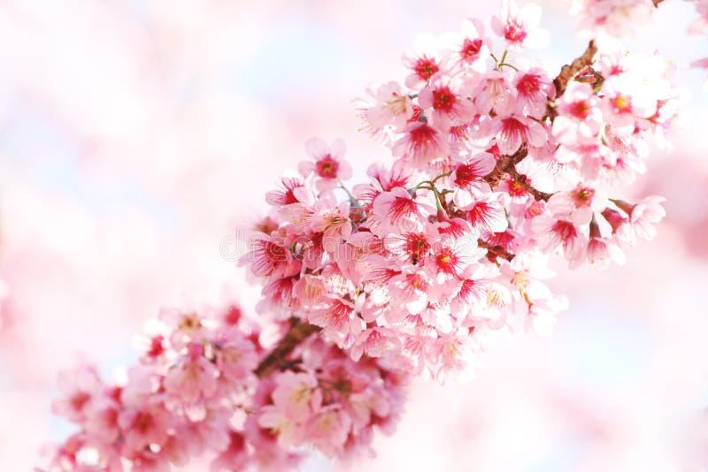 Sakura blüht Zeile lizenzfreie stockfotografie