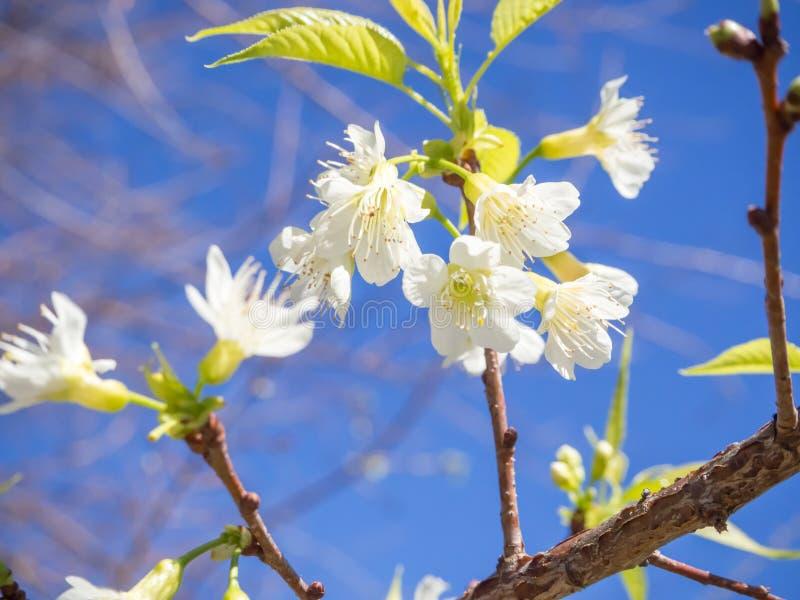 Sakura blanc thaïlandais photo libre de droits