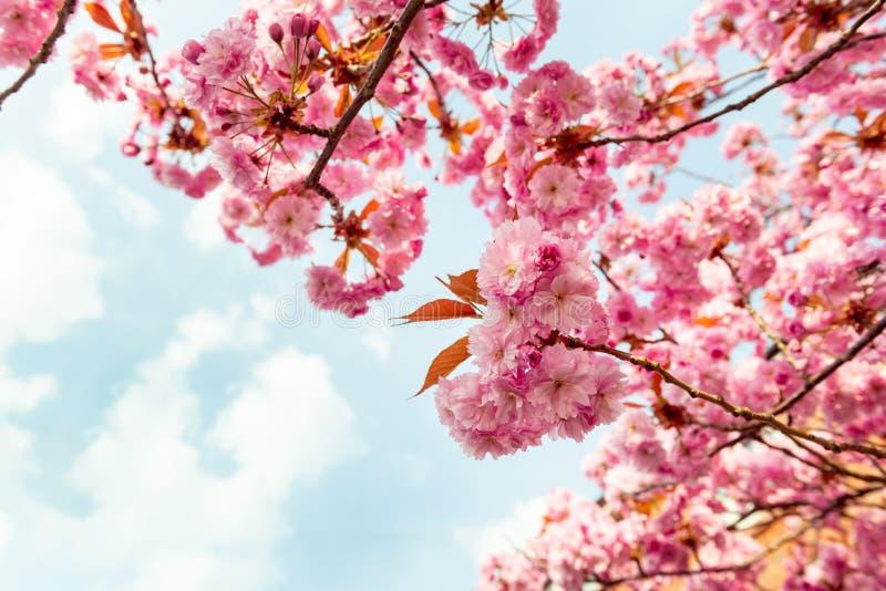 Sakura bloemen, kersenbloesem royalty-vrije stock foto's