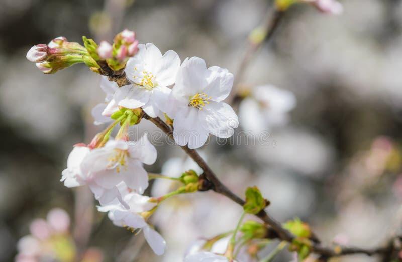 Sakura blommor eller blommor för körsbärsröd blomning royaltyfri fotografi