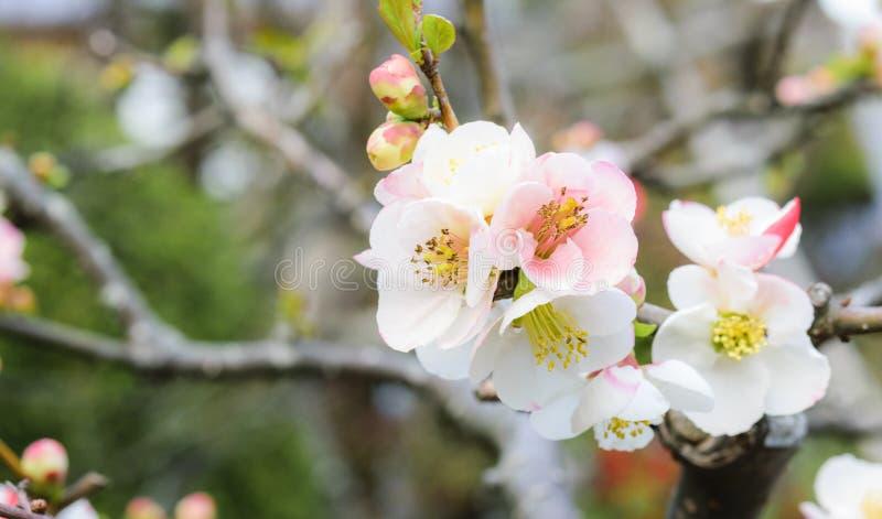 Sakura blommor eller körsbärsröd blomning royaltyfria foton