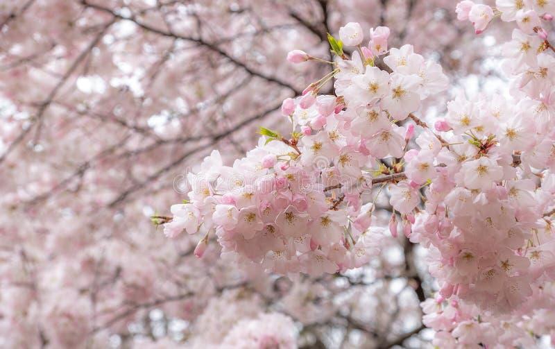 Sakura blommor eller körsbärsröd blomning i japansk trädgård arkivfoton